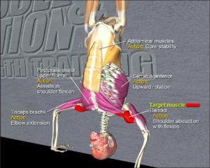 ハンドスタンド プッシュアップ どこの筋肉 効果